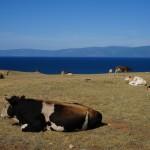 laure vache