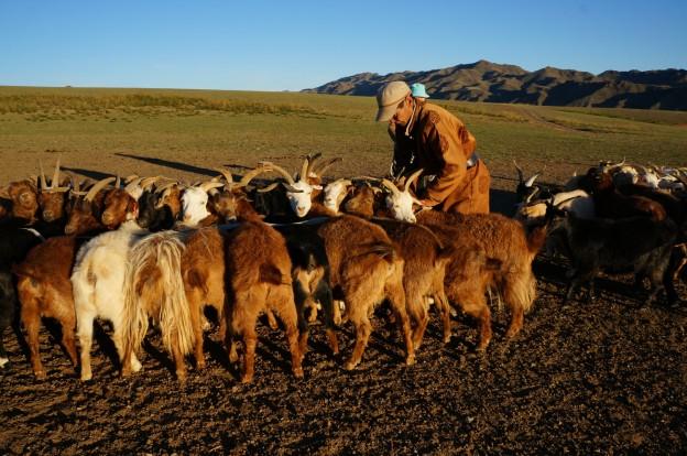 traite chèvres1