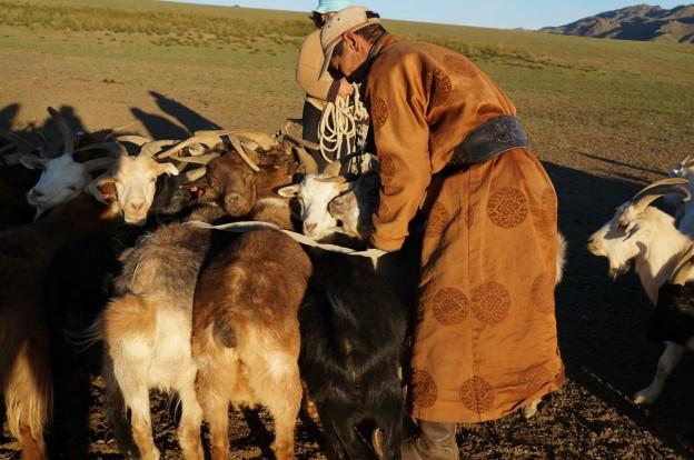 traite chèvres2