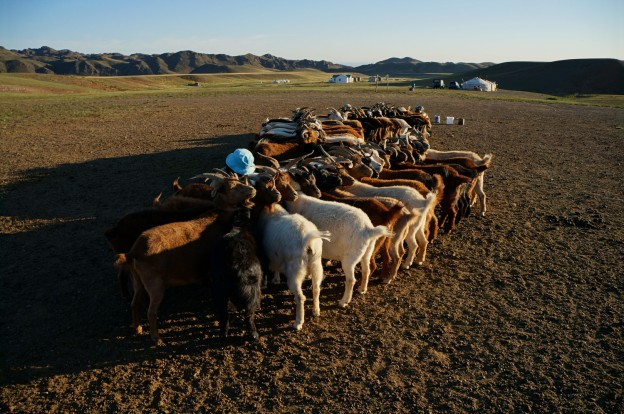 traite chèvres3