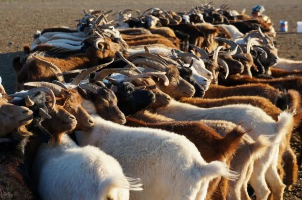 traite chèvres4