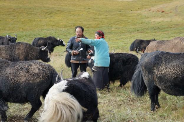 yacks nourrissage