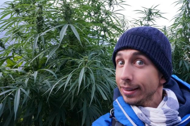 cannabis moi