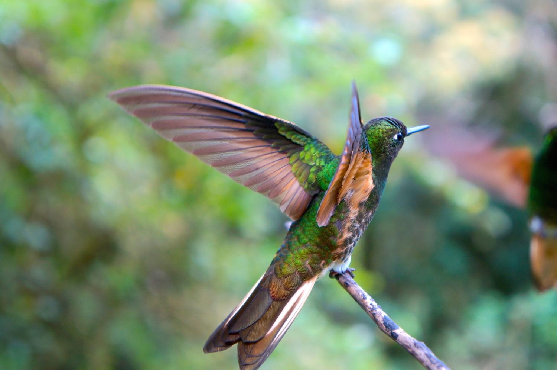 Cocora colibri