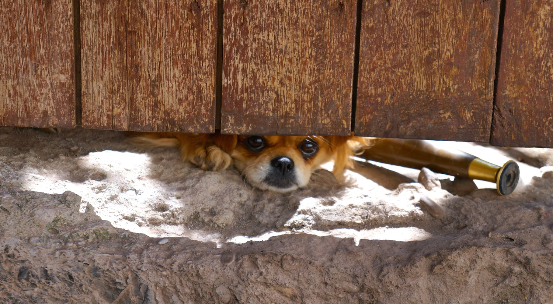 cusco chien 2