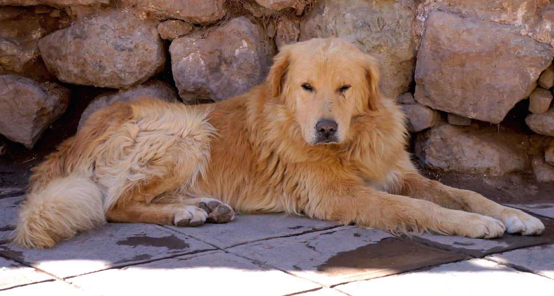cusco chien